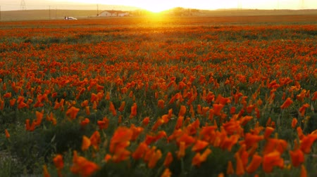haşhaş : 4K Time lapse footage with tilt up motion of wild flower at full bloom with sunset in California Poppy Reserve in Antelope Valley Stok Video