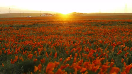 sinema : 4K Time lapse footage with tilt down motion of wild flower at full bloom with sunset in California Poppy Reserve in Antelope Valley Stok Video