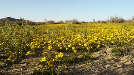 kaktusz : Footage of golden flower carpet in Mojave Desert, California Stock mozgókép