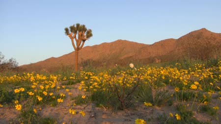 nostalgisch : Desert Golden Flower Carpet Time Lapse