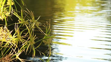 reflexão : Footage of papyrus plant over reflective pond