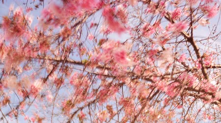 čas : Time lapse footage with zoom out motion of cherry blossoms in full bloom Dostupné videozáznamy