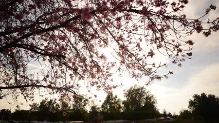 климат : Time lapse footage of cherry blossoms in full bloom Стоковые видеозаписи