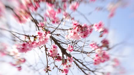 климат : Footage of cherry blossom trees in full Bloom