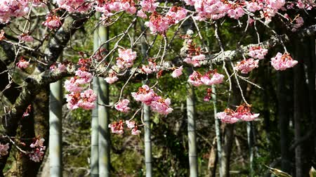 cereja : Pink cherry blossom trees and bamboo in Japanese Botanical Garden in Atami, Japan