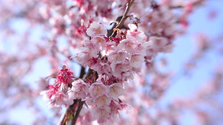 japan : Tilt shift shot of pink cherry blossom tree in Japanese Botanical Garden in Atami, Japan
