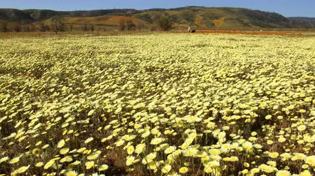 dmuchawiec : Motion controlled time lapse with dolly left, pan right  tilt down motion of carpet of wild desert dandelions in Lancaster, California