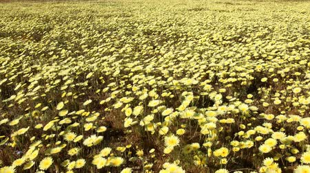 dmuchawiec : Motion controlled time lapse with dolly left, pan right   tilt up motion of carpet of wild desert dandelions in Lancaster, California Wideo