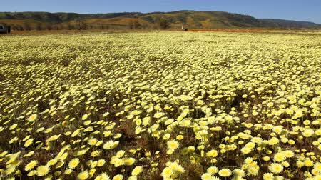 dmuchawiec : Motion controlled time lapse with dolly left  pan right motion of carpet of wild desert dandelions in Lancaster, California