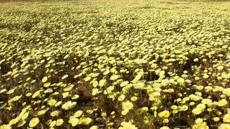 dmuchawiec : Motion controlled time lapse with dolly left, pan right   zoom in motion of carpet of wild desert dandelions in Lancaster, California Wideo