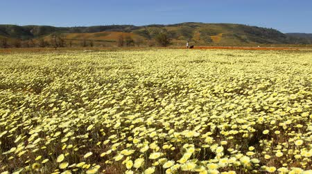 movements : Motion controlled time lapse with dolly left, pan right   zoom out motion of carpet of wild desert dandelions in Lancaster, California