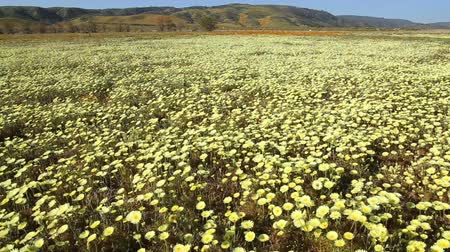 dmuchawiec : Footage of desert dandelion flower carpet in Antelope Valley California Poppy Reserve, California -Dolly Tracking Shot-