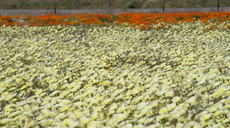 dmuchawiec : Footage of desert dandelion flower carpet in Antelope Valley California Poppy Reserve, California -Long Shot- Wideo