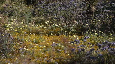 springtime : Footage of desert wild flowers at springtime in Antelope Valley California Poppy Reserve, California Stock Footage