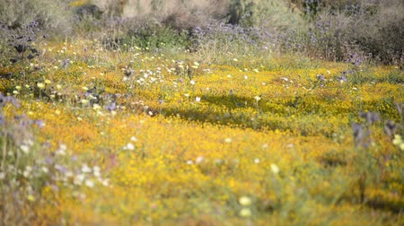 dmuchawiec : Footage with tilt up motion of desert wild flowers at springtime in Antelope Valley California Poppy Reserve, California -Long Shot- Wideo