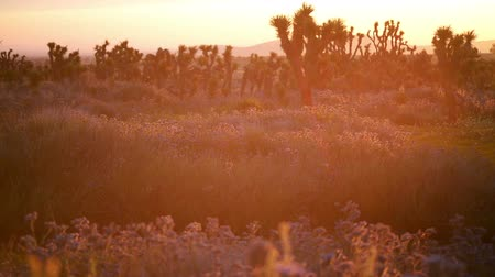 dmuchawiec : Footage desert wild flowers at sunrise at springtime in Antelope Valley California Poppy Reserve, California