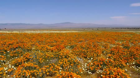 údolí : California Poppy at full bloom in Antelope Valley California Poppy Reserve, California -Wide Shot- Dostupné videozáznamy