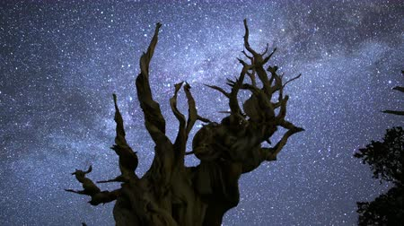 солнечный : 3 axis motion controlled astrophotography time lapse with dolly up, tilt up  pan right motion of Milky Way galaxy over Ancient Bristlecone Pine Trees through dawn in White Mountain, California -Close Up Стоковые видеозаписи