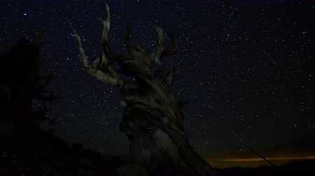 стрельба : Astrophotography Time Lapse footage with pan left motion of stars moving over the oldest tree on Earth in Ancient Bristlecone Pine Forest in White Mountain, California