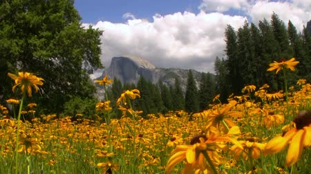 vallei : Half Dome op tapijt van gele bloemen op een weide in Yosemite National Park, Californië -Tracken In- Stockvideo