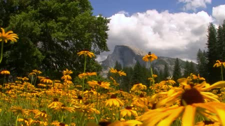 margarida : Half Dome over carpet of yellow flowers at a meadow in Yosemite National Park, California -Pan Left-