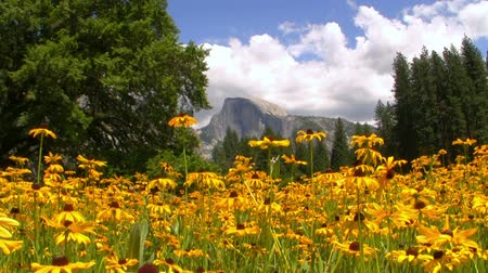 wspinaczka górska : Half Dome over carpet of yellow flowers at a meadow in Yosemite National Park, California -Wide Shot-