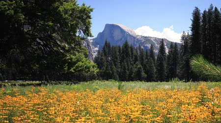 margarida : 3 axis motion controlled time lapse footage with dolly left  tilt up  pan right motion of Half Dome over yellow flowers in Yosemite National Park, California -Long Shot- Vídeos