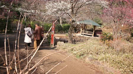 venkovský : ATAMI, SHIZUOKA -February 18th, 2015: Motion controlled tilt uppan right time lapse footage with rotating motion of Japanese plum trees in full bloom at Atami Botanical Garden in Atami, Shizuoka