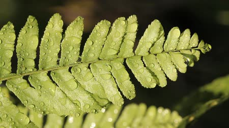 kapradina : Water drops on fresh fern leaf