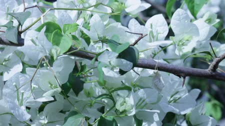 lower part : white bougainvillea Stock Footage