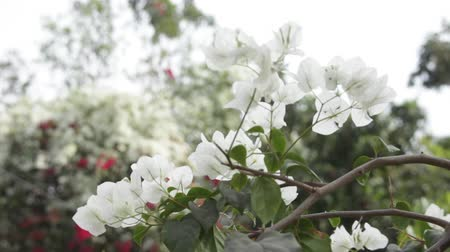 evsahibi : bright white bougainvillea