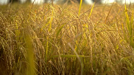 dry stalks : Rice paddy field in harvesting season.Golden rice glittering is completed for crop.Closeup of yellow paddy rice field autumn. Close up of yellow paddy rice plant on field.Yellow paddy rice plant.Yellow rice fields prepare harvest with blur background of d