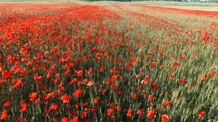 blurring : Poppy field, video. View from above. Blossoming field, Ukraine