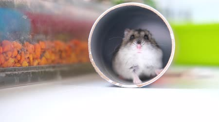 悪 : A small Dzungarian hamster crawls out of a pipe as if from a hole and moves its nose close up. Pets and animal food concept. 4k footage.