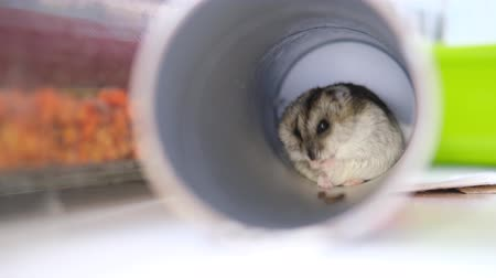 törpe : Little Dzungarian hamster sits in a pipe as in a hole and cleans his coat close up. Pets and animal food concept. 4k footage. Stock mozgókép