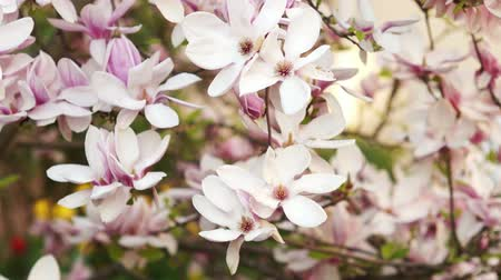 laur : Branches of a blossoming Magnolia.