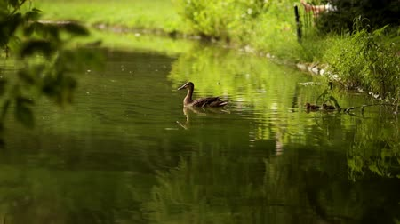 bird learning : Duck with ducklings on walk floating in the pond water. Harmony of nature Stock Footage