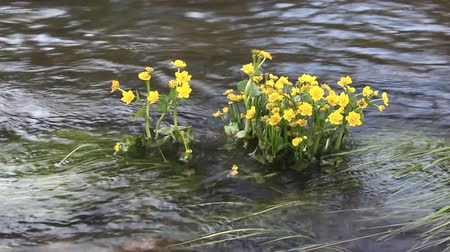 kankalin : Flowers of Caltha palustris shaking from a watercourse Stock mozgókép