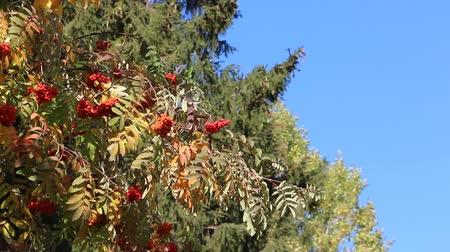 üvez ağacı : Rowan branch with berries shaking from wind against the background of the blue sky in the fall