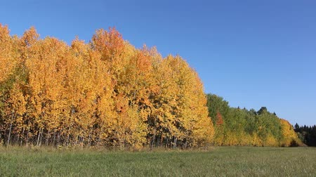 fatörzs : Yellow aspens on a glade in the autumn wood
