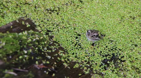 anuran : Frog sitting on a snag in the swamp among a duckweed in the summer