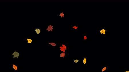 Colorful fall foliage dancing on transparent background. Beautiful autumn leaves falling. Wideo