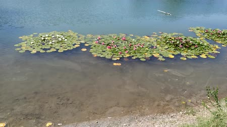 Floating water lilies in a lake. Outdoor footage from above floating green leaves in tranquil water. Wideo