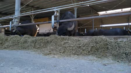 Italian Mediterranean buffaloes eating. Animals kept in cheese mozzarella making farm. Wideo