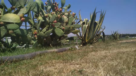 pichlavý : Cactus fruit prickly pear plantation. Outdoor footage.