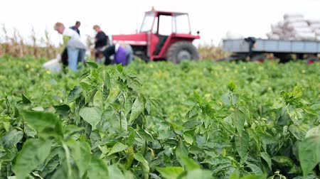 waggle : Farm Workers Picking Peppers  Work in the Field