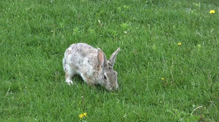 nyúl : Cottontail Feeding in Grass