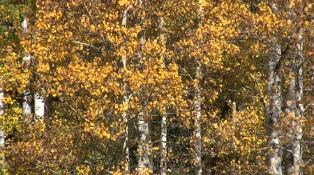 populus : Aspens in Fall Stock Footage