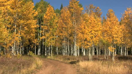 populus : Aspen Grove in Fall