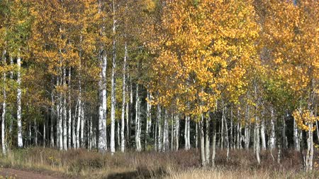 arbol : Colorful Aspen Grove
